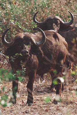 Two Cape buffalos - p1640m2261135 by Holly & John