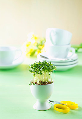 Cress sprouts in egg cup and scissors - p3008065f by Kai Schwabe