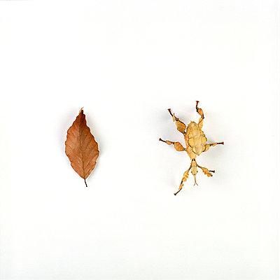 Gespenstschrecke - p6060149 von Iris Friedrich