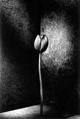 Tulip - p1034m907285 by Didier Gaillard