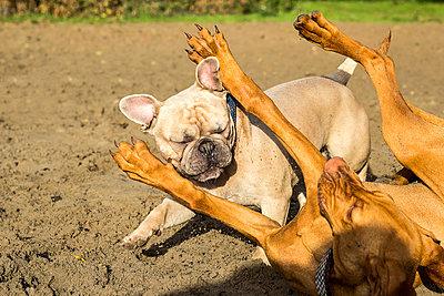 English bulldog and Vizsla playing - p739m945748 by Baertels
