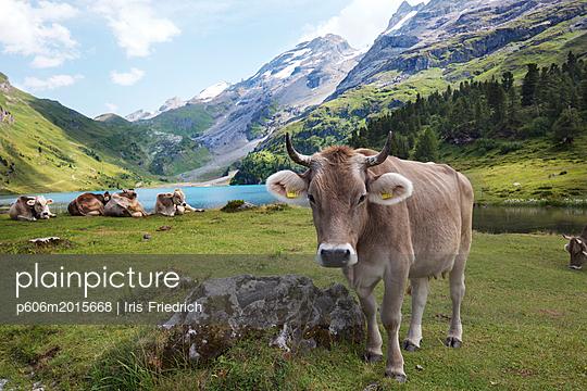 Portrait einer Schweizer Kuh an einem Bergsee - p606m2015668 von Iris Friedrich