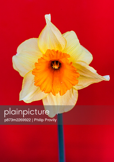 Daffodil in front of red background - p873m2269922 by Philip Provily