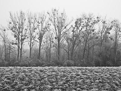 Pappeln mit Misteln in den Donauauen bei Asten - p1463m2191664 von Wolfgang Simlinger