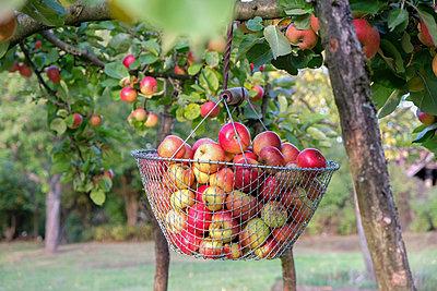 Korb mit Äpfeln im Baum, Apfelernte - p1685m2272549 von Joy Kröger