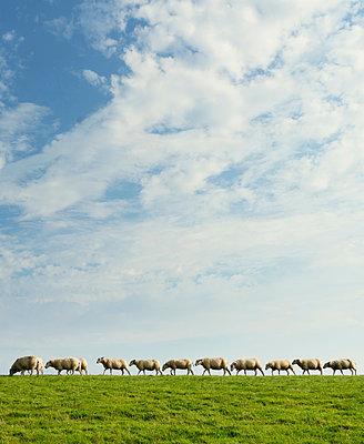 Sheep walking in row on dyke - p429m1197865 by Mischa Keijser