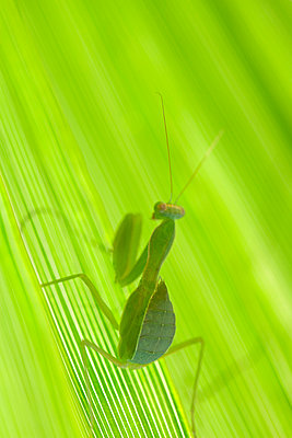 Close up of praying mantis on leaf - p1023m903340f by Marie Stone