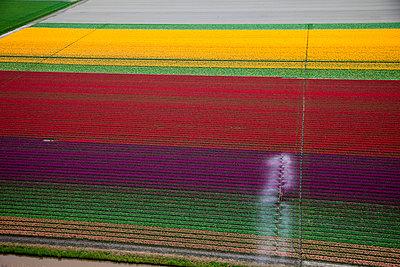Tulip blooming season - p1120m899966 by Siebe Swart