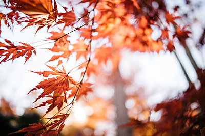 Autumn Maple Leaves in the Sun - p1274m1105272 by caitlin strom