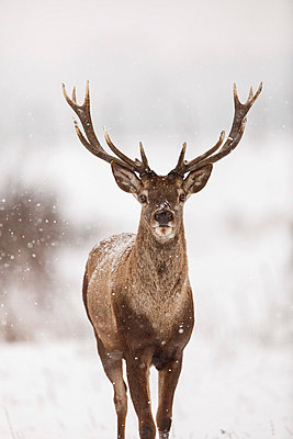 Portrait of red deer stag - p1026m1038758f by Romulic-Stojcic