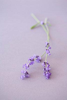 Lavendelblüten - p4950110 von Jeanene Scott