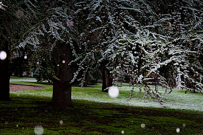 Snowflakes in the garden - p951m970846 by Caterina Sansone