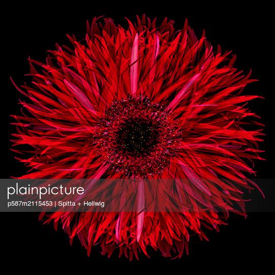 Red Gerbera - p587m2115453 by Spitta + Hellwig