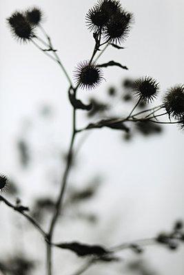 Dunkle Pflanze - p1220m1025776 von Schall & Schnabel