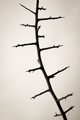 Bare thorns - p1228m1087510 by Benjamin Harte
