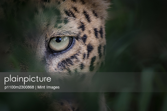 The eye of a leopard, Panthera pardus, looking through greenery, natural frame - p1100m2300868 by Mint Images
