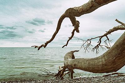 Entwurzelter Baum im Nationalpark Jasmund - p1332m1445750 von Tamboly