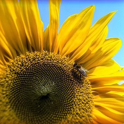Sonnenblume - p2200158 von Kai Jabs