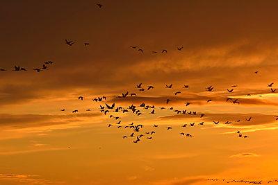 Schwärme von Kranichen fliegen durch den rotgolden leuchtenden Abendhimmelmmel en - p235m2021756 von KuS