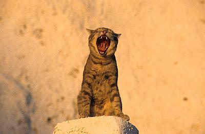 Katze auf Santorini - p3300471 von Harald Braun