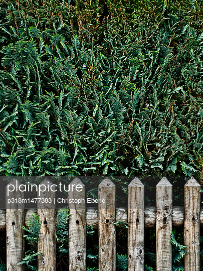Hedge behind wooden fence - p318m1477383 by Christoph Eberle