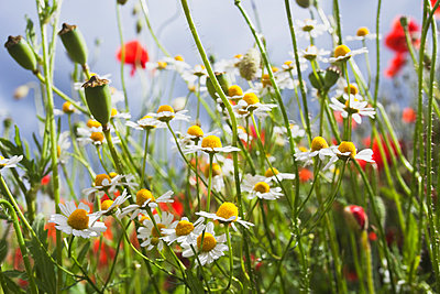 Meadow of red poppies (Papaver rhoeas) and German chamomile (Matricaria chamomilla) - p300m911270f by Gaby Wojciech