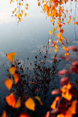 Twigs of a birchtree with luminous leaves - p533m2100149 by Böhm Monika