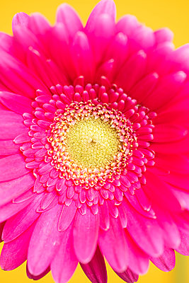 Pink gerbera gainst yellow background - p919m2195652 by Beowulf Sheehan