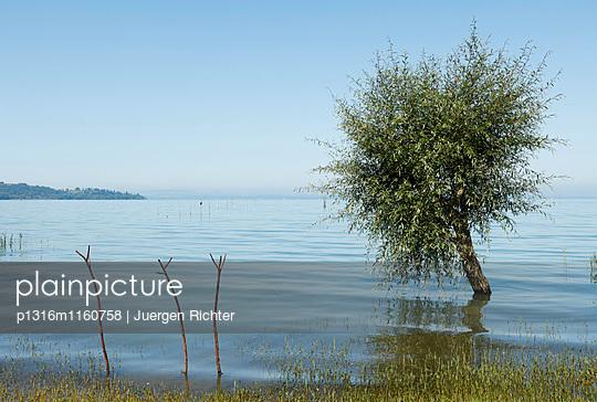 Weide, lat. Salix, am Seeufer bei San Feliciano, Lago Trasimeno, Trasimenischer See, Provinz Perugia, Umbrien, Italien, Europa - p1316m1160758 von Juergen Richter