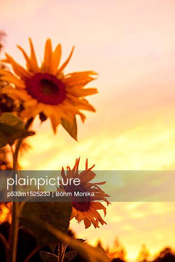 Sonnenblumen vor Abendrot - p533m1525233 von Böhm Monika