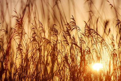 Sonnenuntergang hinter Schilf - p1057m1203205 von Stephen Shepherd