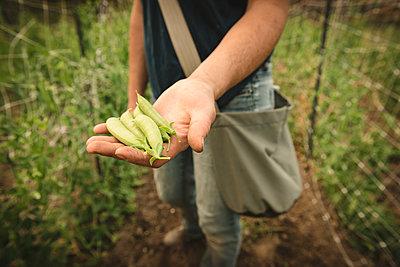 Mid section of farmer holding fresh ripe green pea in field - p1315m1518444 by Wavebreak