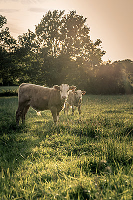Cows out at feed - p1402m2193309 by Jerome Paressant