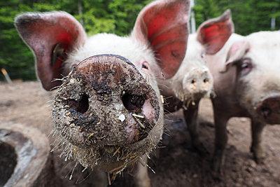 Pigs - p338m2185355 by Marion Beckhäuser
