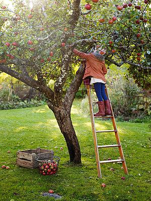 Girl on ladder picking apples, Varmdo, Uppland, Sweden - p528m875611 by Anna Kern