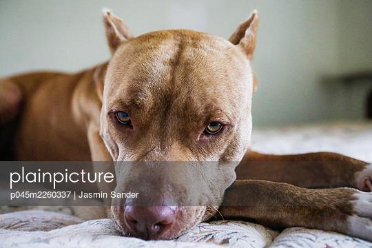 Pitbull auf Bett - p045m2260337 von Jasmin Sander