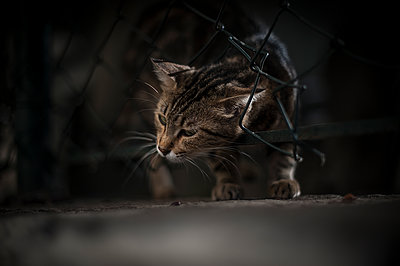 Cat passing through a wire fence - p1007m1134842 by Tilby Vattard