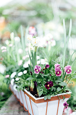 Pansies in pot - p312m1139586 by Malin Morner