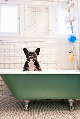 French bulldog sitting in bathtub - p429m768208 by Robyn Breen Shinn