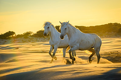 Two white horses (Equus ferus caballus) on the beach in the golden sunlight at sunset; Camargue, France  - p442m1520048 by Marg Wood