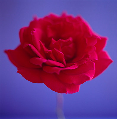 Rote Rose - p4950178 von Jeanene Scott
