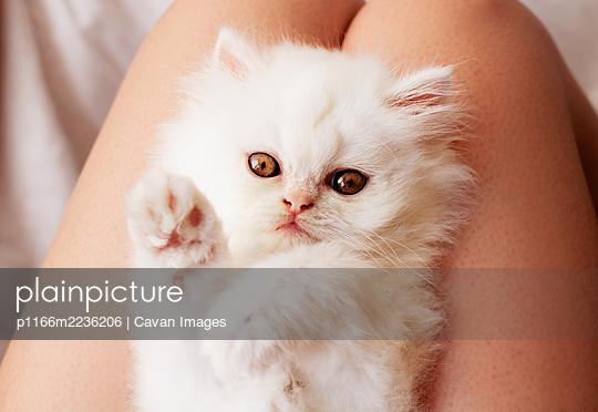 Fluffy white kitten lying on woman's lap - p1166m2236206 by Cavan Images