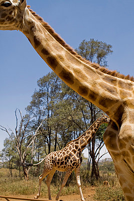 Giraffe view from below - p7690012 by Nicolai Froehlich