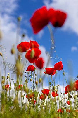 Poppy field - p795m2160954 by JanJasperKlein