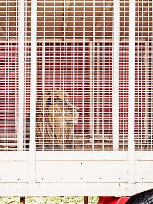 Löwe hinter Gitter - p318m1477388 von Christoph Eberle