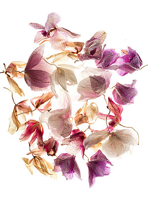 Dried Orchid Blossoms - p401m1182125 by Frank Baquet
