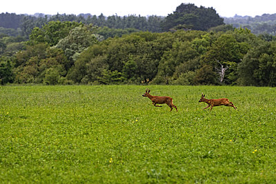 Deers - p1041m2090464 by Franckaparis