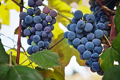 Blue grapes on vine stock - p300m2023953 by Borislav Zhuykov