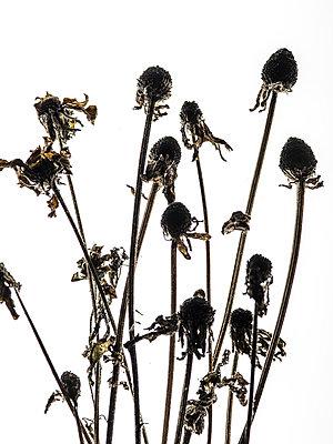 Vertrocknete Blumen - p401m1590146 von Frank Baquet