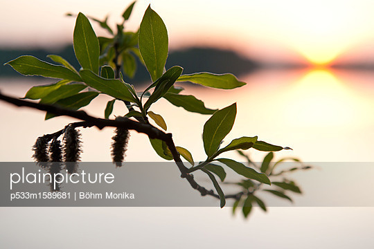 Frühlingstrieb eines Weidenbaumes - p533m1589681 von Böhm Monika